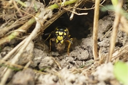 Оса у входа в нору, которая ведет в находящееся довольно глубокого под землей гнездо.