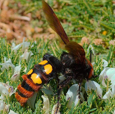 Личинки сколий развиваются внутри-насекомого-жертвы и лишь на следующий год выбираются из-под земли в виде взрослой особи.