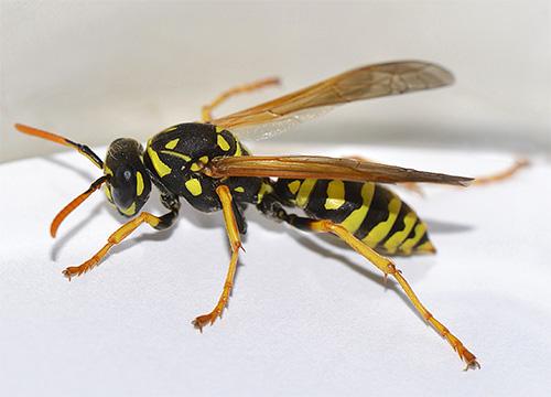 Укусы жалящих насекомых в область лица и шеи могут быть иногда опасными для жизни.