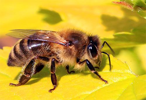 А так выглядит медоносная пчела