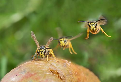 Следует помнить, что жалящие насекомые могут нападать целым роем, и это опасно для любого человека