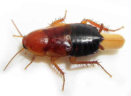 На фото показан таракан с оотекой