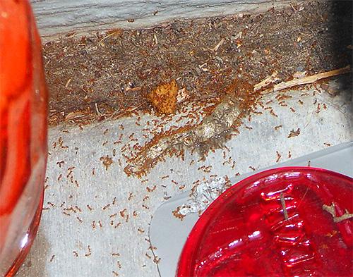 Фараоновы муравьи могут повреждать продукты питания в доме