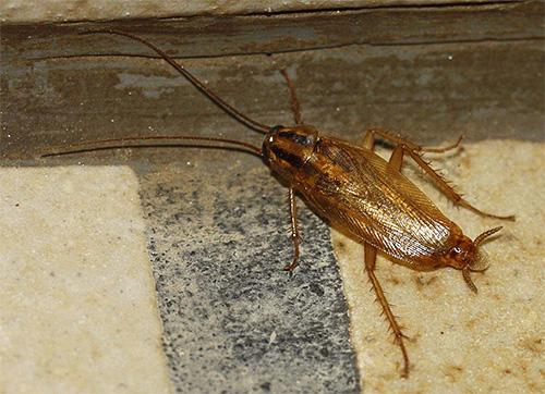 Хотя тараканы в доме и не трогают непосредственно человека, но могут быть источником различных инфекций