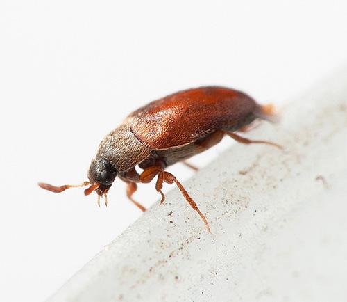 О соседстве с жуками-кожеедами люди зачастую даже не догадываются...