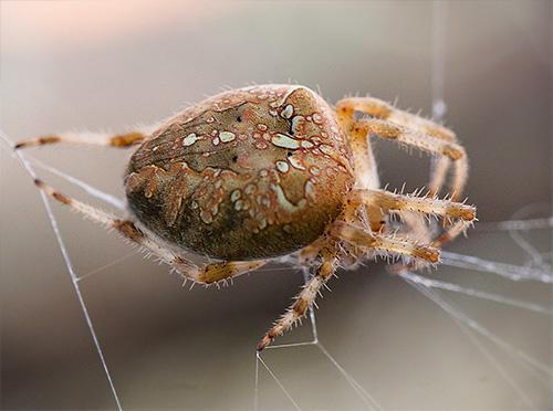 Паук-крестовик на паутине (Araneus diadematus)