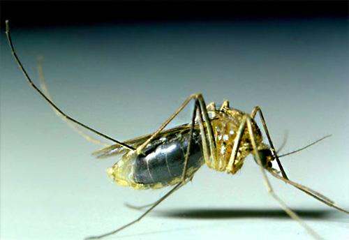 Комары в большинстве случаев в доме долго не живут, а появляются здесь только чтобы напиться крови человека