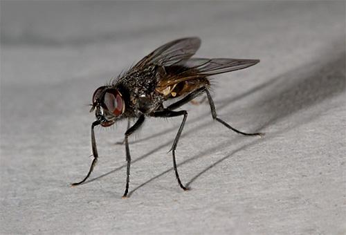 Комнатную муху можно встретить лишь в доме человека