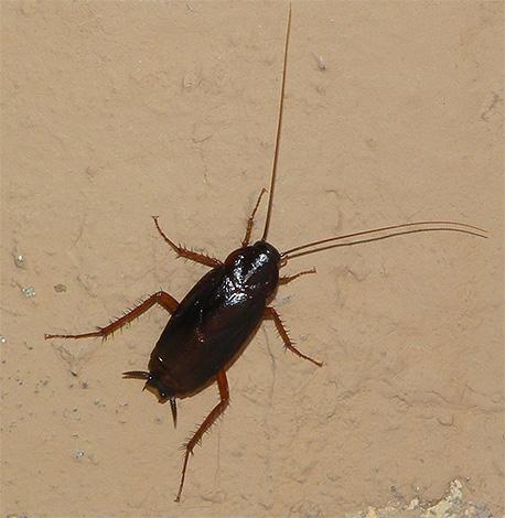 На фотографии показан черный таракан