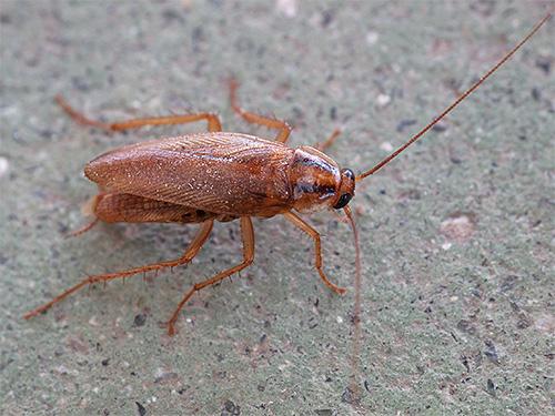 Домашние тараканы могут питаться практически любой пищей, содержащей следы органики