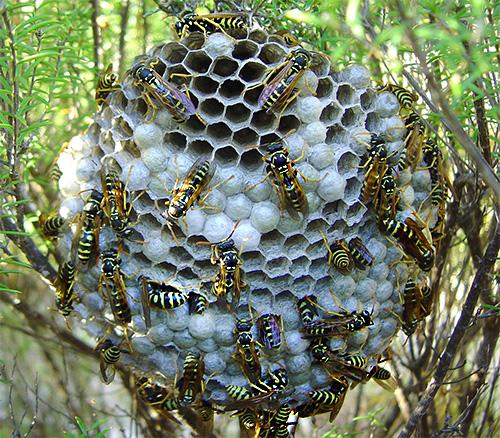 При множественных укусах ос могут возникать серьезные последствия даже у людей, слабо чувствительных к ядам насекомых.