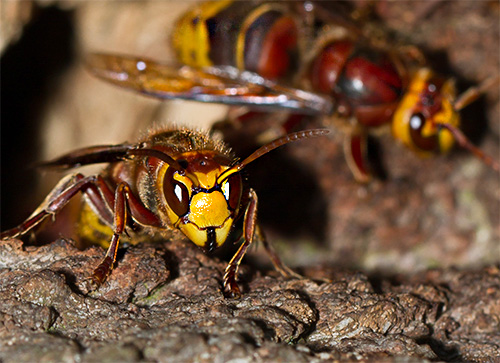 Нападение сразу нескольких шершней может быть весьма опасным для любого человека, особенно если учесть, что каждое насекомое может жалить несколько раз подряд.