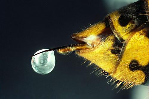 Фотография жала осы с каплей яда на конце