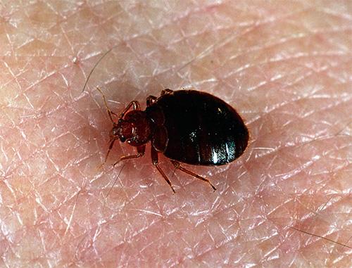 Если обработка проводилась непрофессионалами, то уже через пару дней насекомые могут появиться вновь.