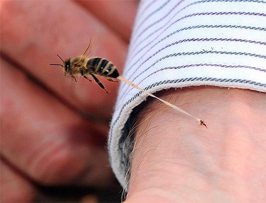 Яд пчел является сильным аллергеном