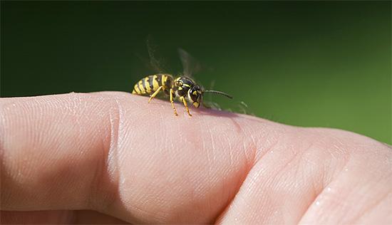 Единичный укус осы - это еще не самое страшное, так как иногда они нападают всем роем.