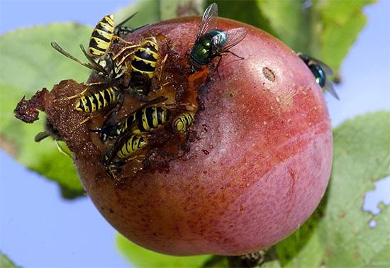 Иногда осы прилетают на дачный участок лишь для того, чтобы подкрепиться...