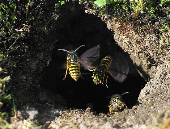На фото показан вход в осиное гнездо, находящееся под землей.