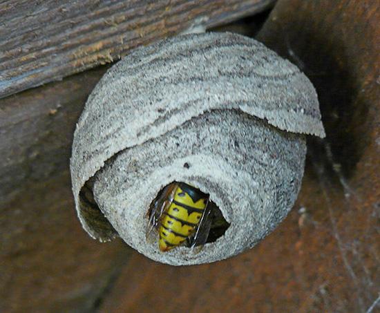 Часто осы строят свое жилище под потолком дачных построек