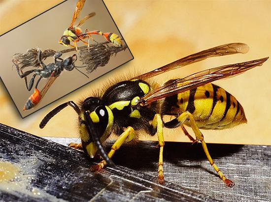 Удивительные насекомые. Осы