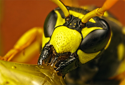 Так выглядит голова осы при большом увеличении