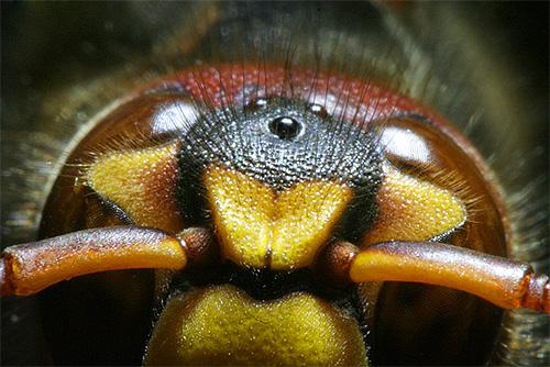 Интересной особенностью ос является наличие у них трех дополнительных маленьких глаз на голове.