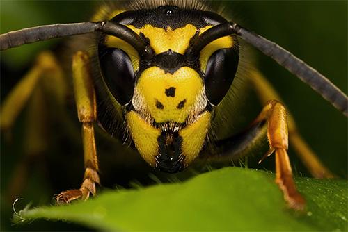 На этой фотографии видны основные и дополнительные глаза на голове насекомого.
