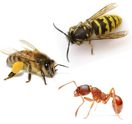 Представленные на картинке оса, пчела и муравей являются потомками древних ос.