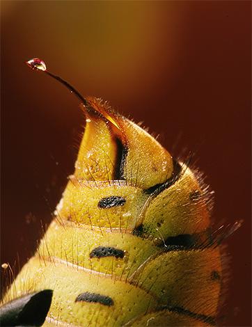 Яд осы имеет сложный химический состав и является мощным аллергеном.