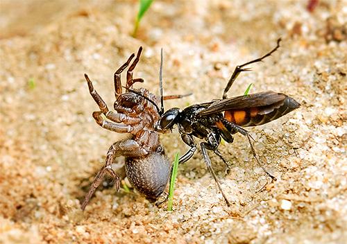 Некоторые виды ос охотятся на пауков