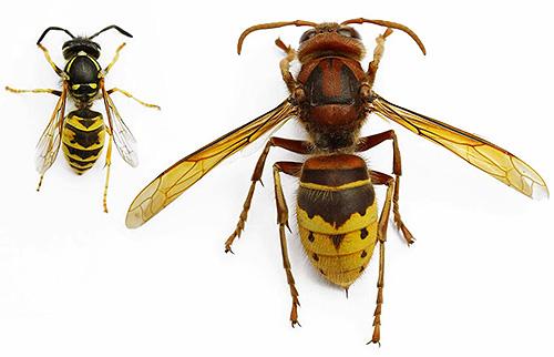 Главное отличие шершня от осы - его большие размеры.