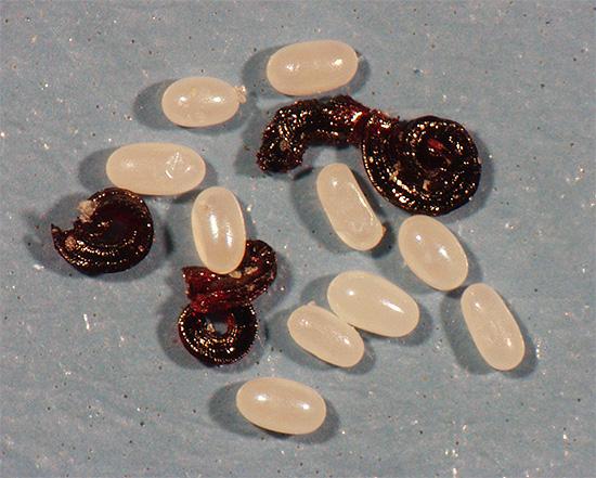 Личинки и яйца блох могут прятаться, например, в коврах и за плинтусами.