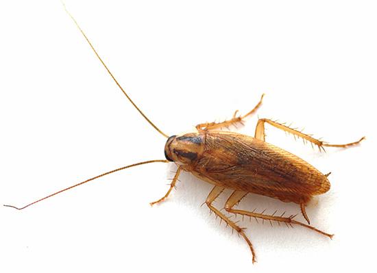Препарат эффективен и против тараканов, позволяя полностью уничтожать их популяцию в квартире даже в тех случаях, когда другие средства не дают результата.