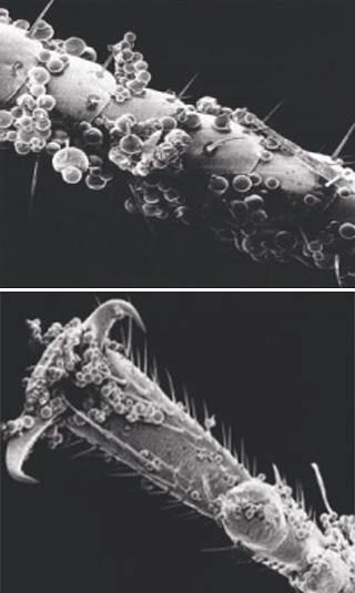 Микрокапсулированный инсектицид хорошо налипает на лапки, усы и тело насекомых, что сильно повышает эффективность средства.