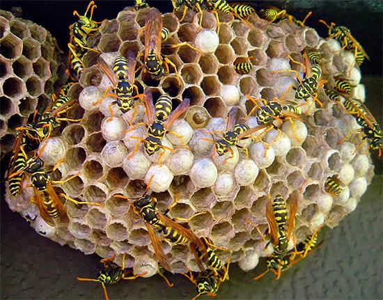 Дихлофос вполне подойдет, чтобы быстро отравить насекомых в гнезде.