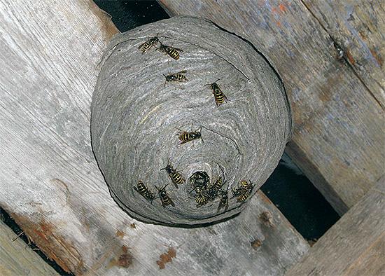 На фотографии показано осиное гнездо, расположенное на чердаке деревянного дома.