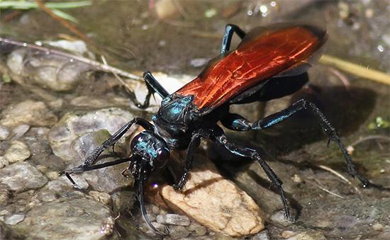 Укус дорожной осы является весьма болезненным
