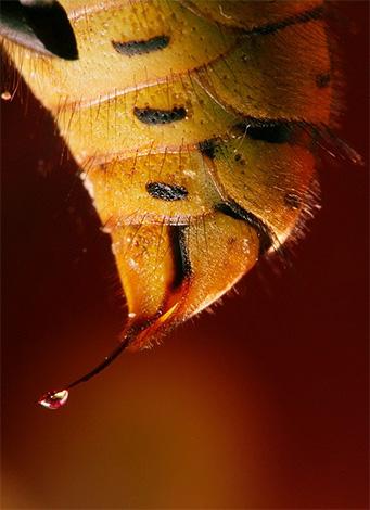 На фото показана капля яда на кончике жала осы.