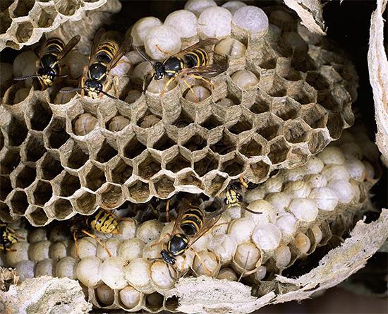 Поговорим о так называемых диких осах - под этим названием скрывается немало видов насекомых...
