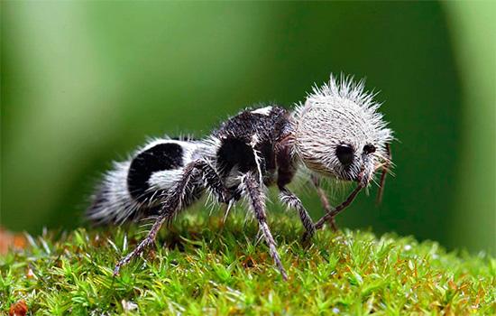 Это насекомое, похожее на бархатного муравья, на самом деле является осой-немкой.
