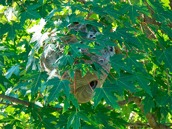 Гнездо шершней на дереве