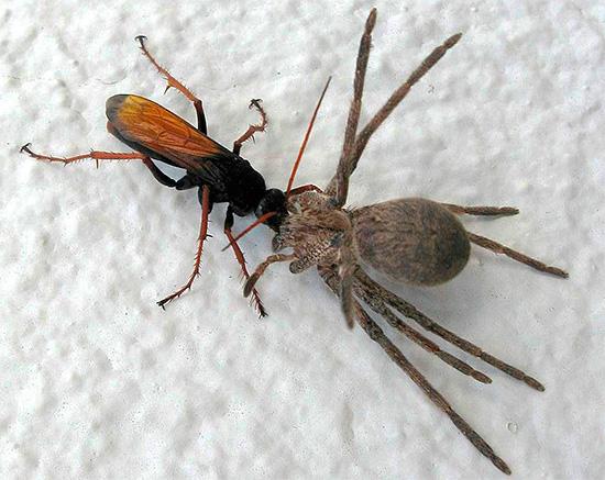 Некоторые дикие осы предпочитают охотиться на пауков.