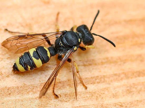 На фото показан пчелиный волк филант