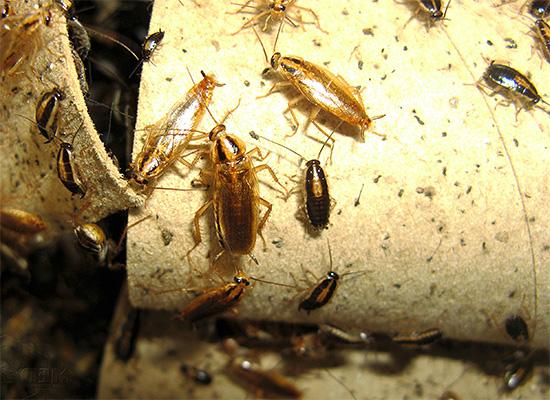 Начинать морить тараканов нужно сразу же, как только они были замечены в помещении, а вот как это делать правильно и эффективно мы дальше и посмотрим...