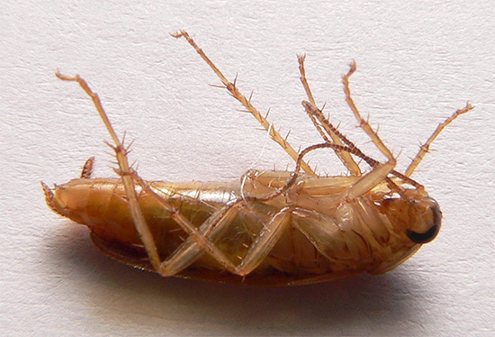 Нередко встречаются ситуации, когда от тараканов не удается избавиться ни Дихлофосом, ни отравленными приманками с борной кислотой.