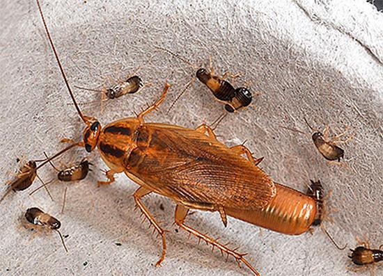 Некоторые люди буквально годами морят тараканов, но так и не могут от них надолго избавиться, так как не учитывают важных нюансов...