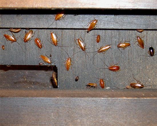 Если тараканов в квартире очень много, то морить их нужно комплексно, не ограничиваясь лишь покупкой какого-либо инсектицидного средства.