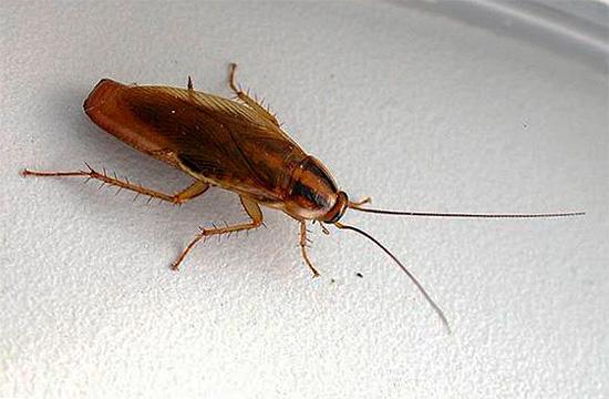 На фото показана самка рыжего таракана с оотекой (в ней созревают яйца)