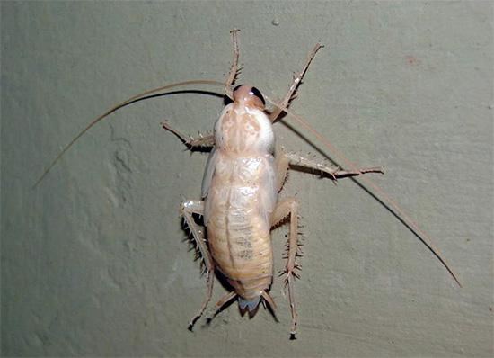 Сразу после линьки тараканы выглядят практически белыми.