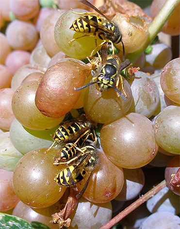 Имеется несколько достаточно надежных способов защиты урожая винограда от повреждения осами, и наиболее действенные из них мы далее и рассмотрим...